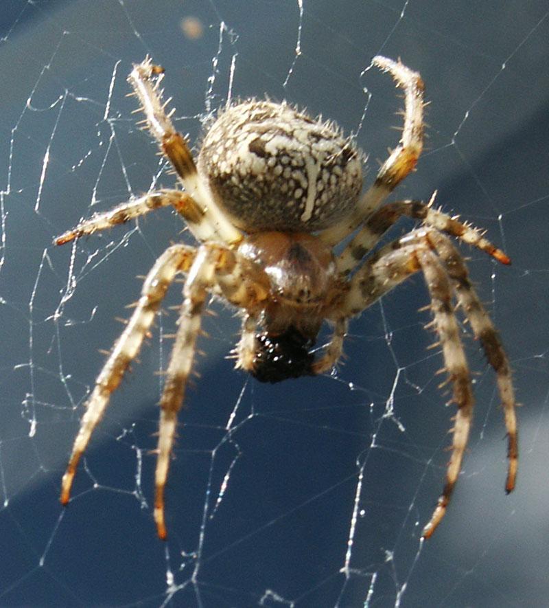 spider-front-full.jpg